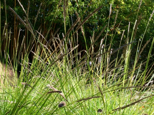 Sesleria autumnalis seed heads in October