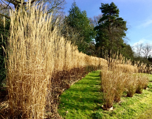 Miscanthus hedge winter
