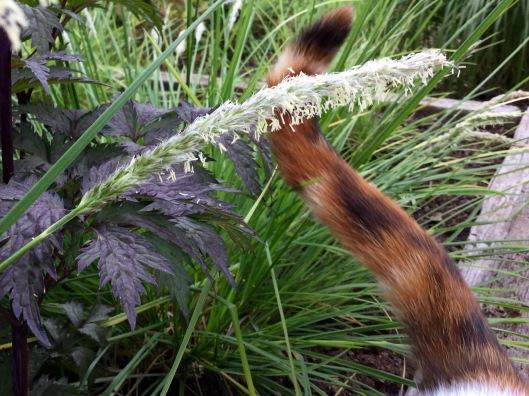 Sesleria autumnalis inflorescence