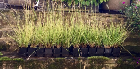 Trays of young sesleria