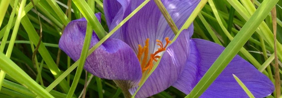 Seseleria autumnalis