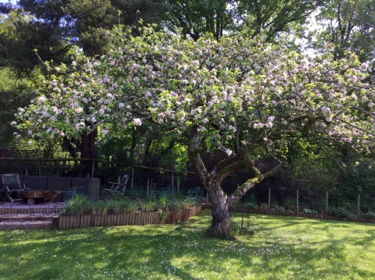 Apple tree in the paddock