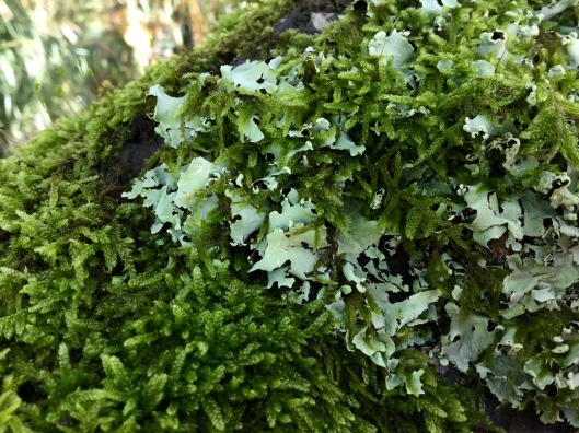 Moss and lichen on Apple tree