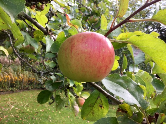 A Bramley Apple on the tree