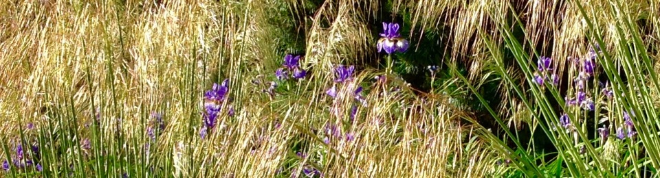 Iris Sibirica Tropic Night and Stipa gigantea