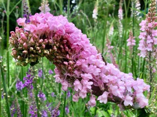 Fascinated Linaria purpurea flowering